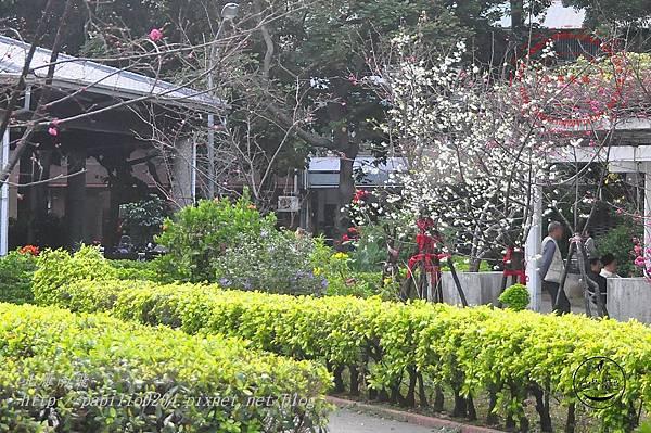 07台中市南區福順公園福爾摩沙櫻.JPG