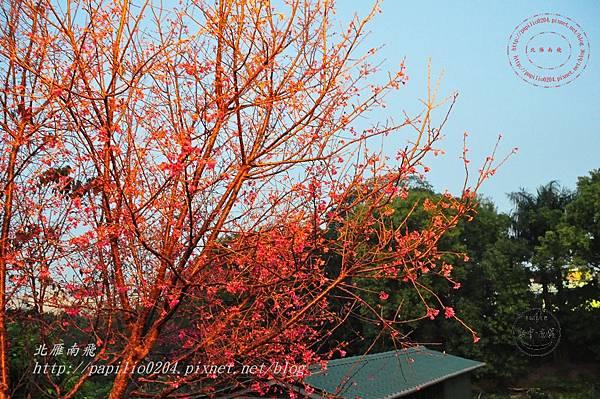 25 台中南門溪旁南門環保公園櫻花步道夜櫻.JPG