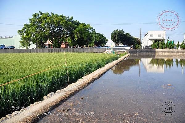 13 大雅寶興宮前麥田與放水的稻田.JPG