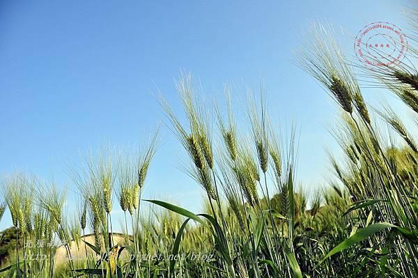 14 麥田小學堂附近的大麥