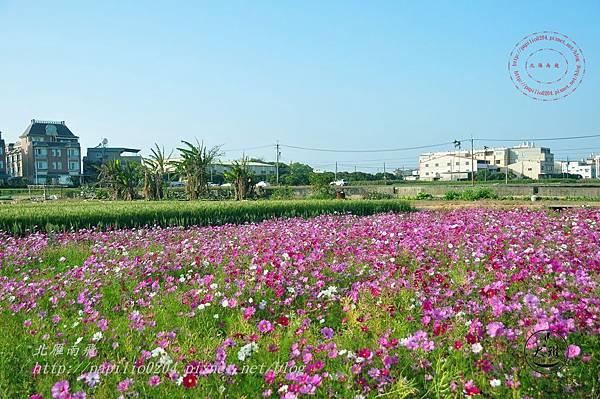 16 麥田小學堂附近的大波斯菊花海.JPG