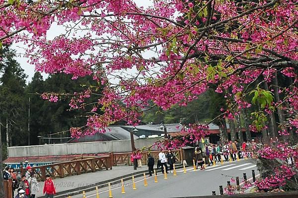 01阿里山火車站前山櫻.JPG