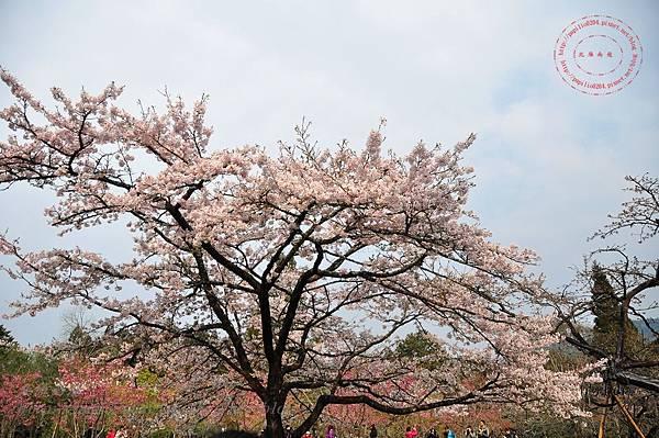 12阿里山櫻王.JPG