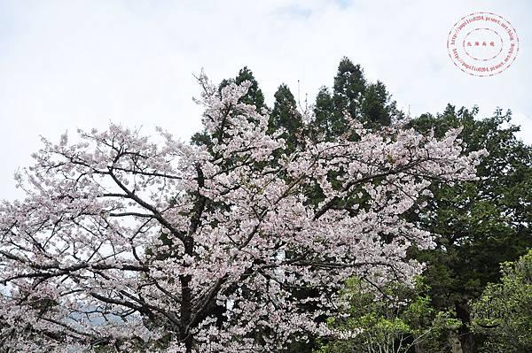 21阿里山櫻王.JPG