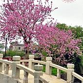 12金門瓊林南洋櫻花(羊蹄甲)花道.JPG