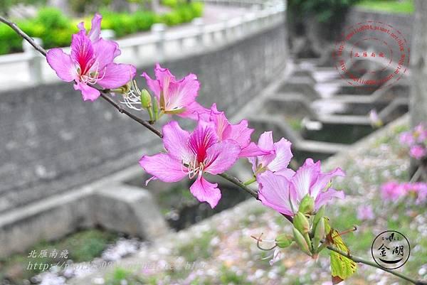 18金門瓊林南洋櫻花(羊蹄甲)花道.JPG
