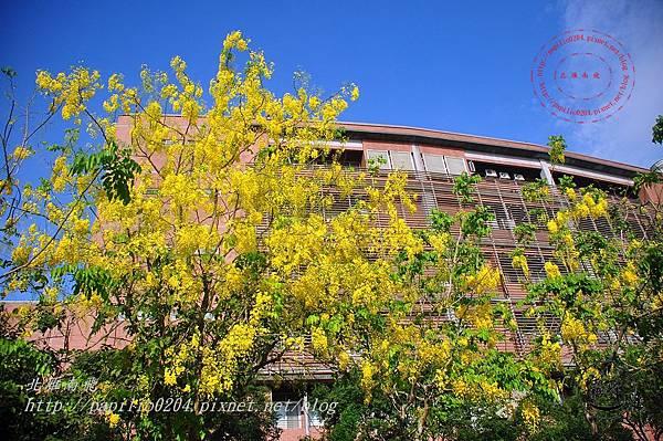 07亞洲大學阿勃勒.JPG