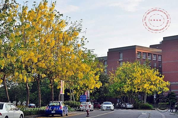 38亞洲大學阿勃勒 .JPG