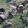 10東嶼坪高處放養的山羊.JPG