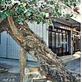 02金門陽翟黃槿百年老樹