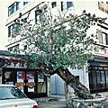 03金門陽翟黃槿百年老樹