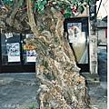 01金門陽翟黃槿百年老樹