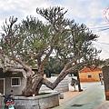 07金門金剛纂百年老樹