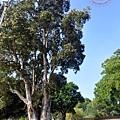 金門古崗湖白千層珍貴樹木