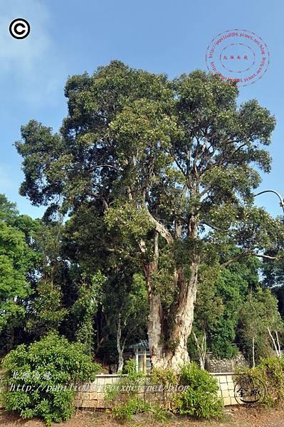 金門古崗湖白千層珍貴樹木- 刊頭