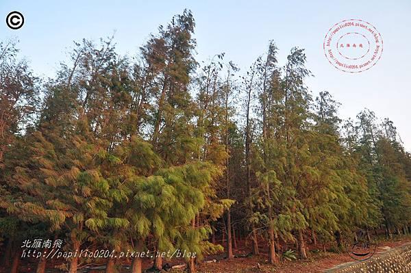 [台中‧大肚] 大忠國小附近落羽松池杉混合林