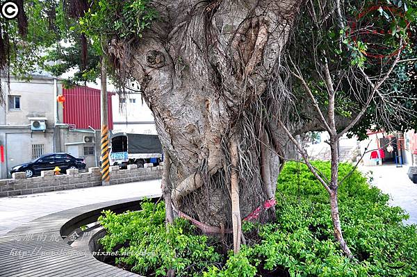 金門成功(下坑)老榕樹