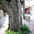 金門成功(陳坑)老榕樹