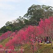 台中大坑濁水巷櫻花林 2015