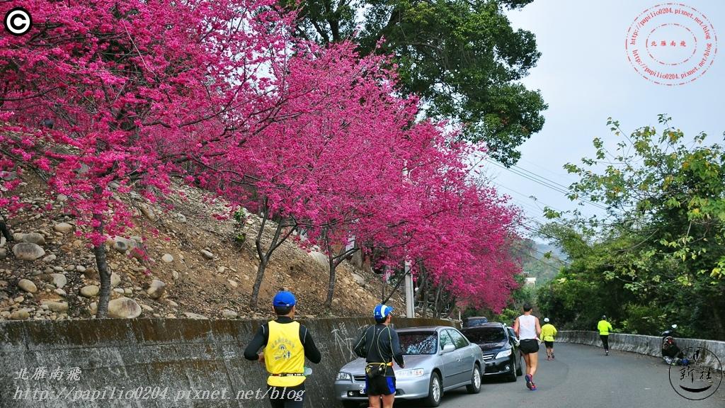 新社中和街三段(129縣道)5K處大南坡櫻花林