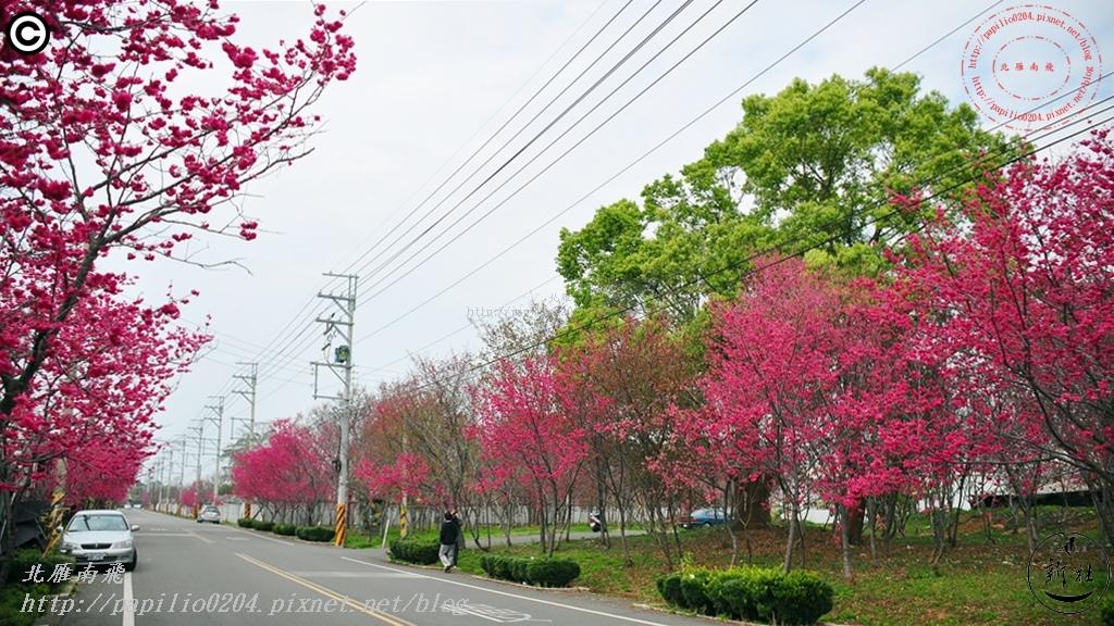 新社區興社街二段沿線櫻花林