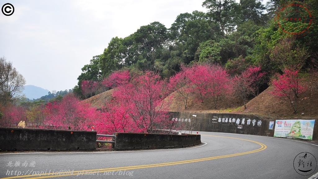 新社區中95線鄉道(興和產業道路)沿線櫻花林