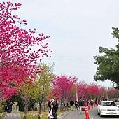 新社區公所周邊櫻花林