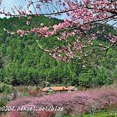 兆豐櫻花園(茶園)