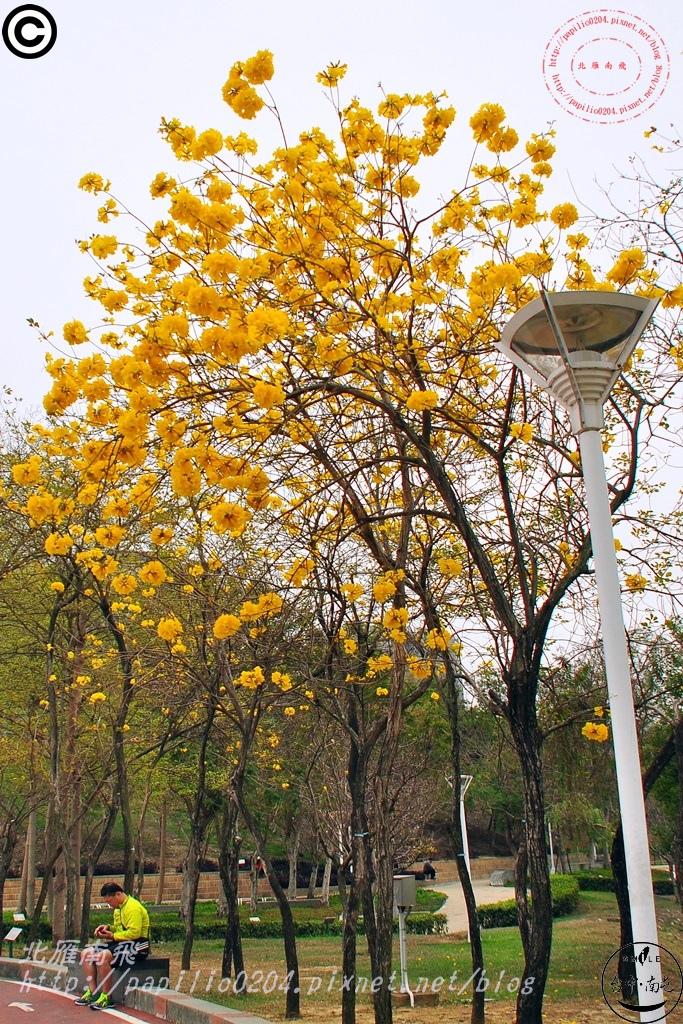 文心森林公園黃花風鈴木