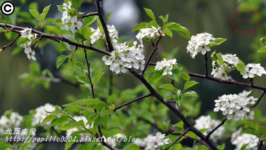 豆梨 2015.03.03 金門植物園