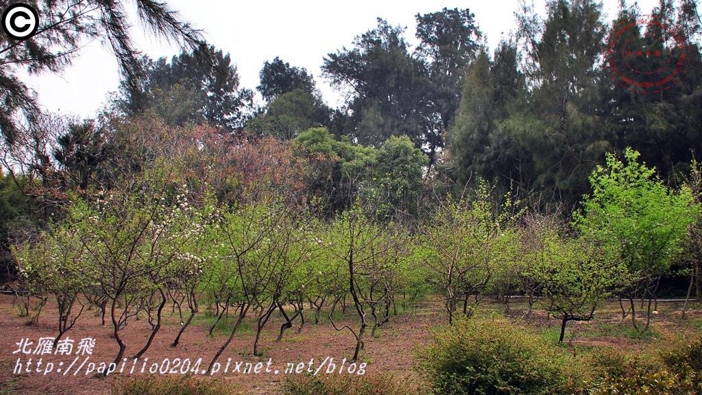 豆梨 2015.03.02 金門植物園