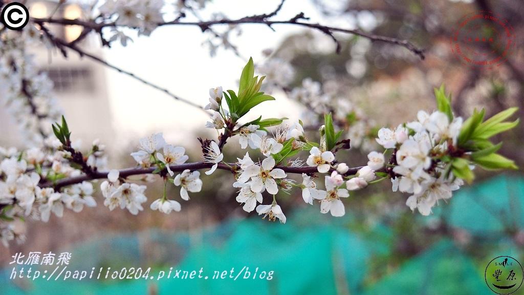 公老坪李花 2015.02.01