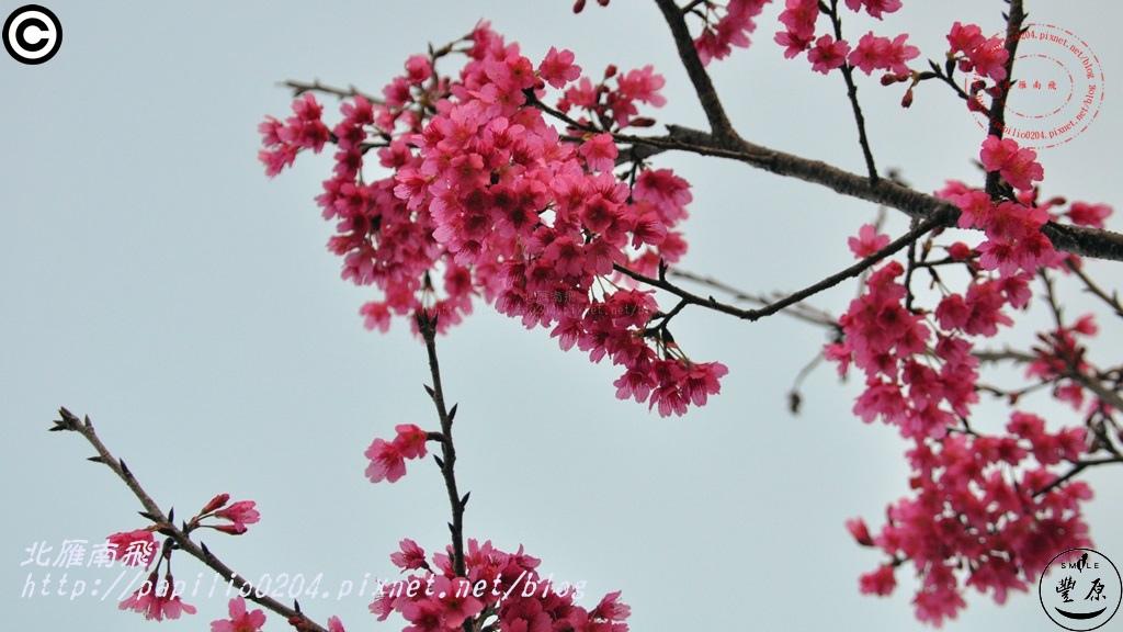 公老坪櫻花 2015.02.01