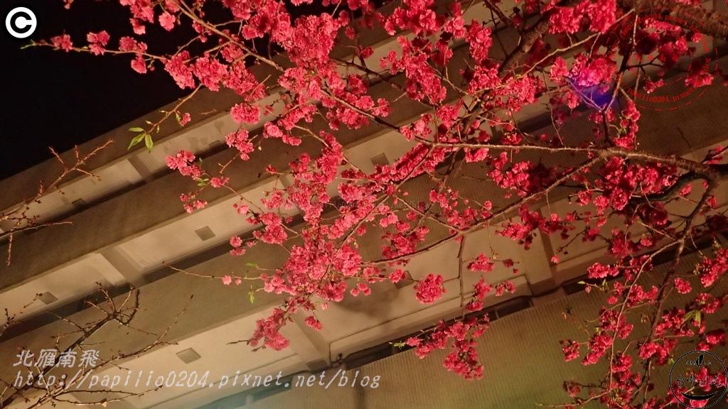 [台中‧北屯] 平昌里文昌國小旁賞夜櫻