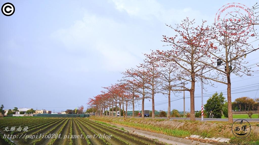 [雲林‧西螺] 145縣道西螺段木棉花 2015/03/16