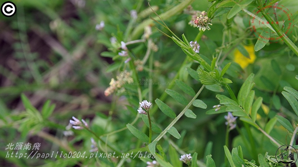 小巢豆  Vicia hirsuta (L.) S. F. Gray