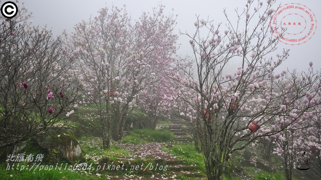 [新北市‧淡水] 楓樹湖木蓮 (二喬玉蘭) 2015/02/28