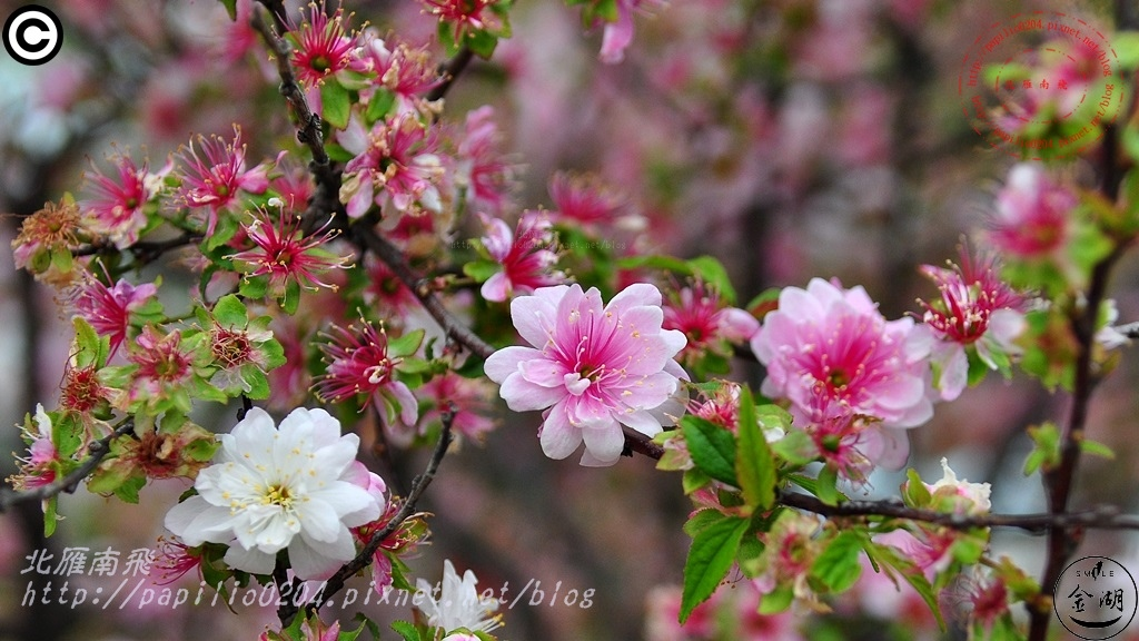 金門瓊林重瓣郁李(Prunus japonica 'Sinensis')