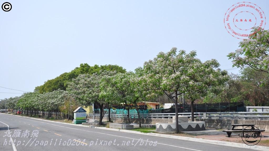 [雲林‧西螺] 西螺大橋旁雕塑公園苦楝花