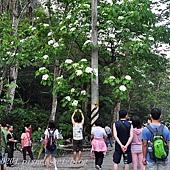 [彰化‧芬園]挑水古道桐花 2015.04.26