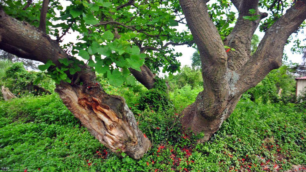 金門田墩刺桐珍貴老樹
