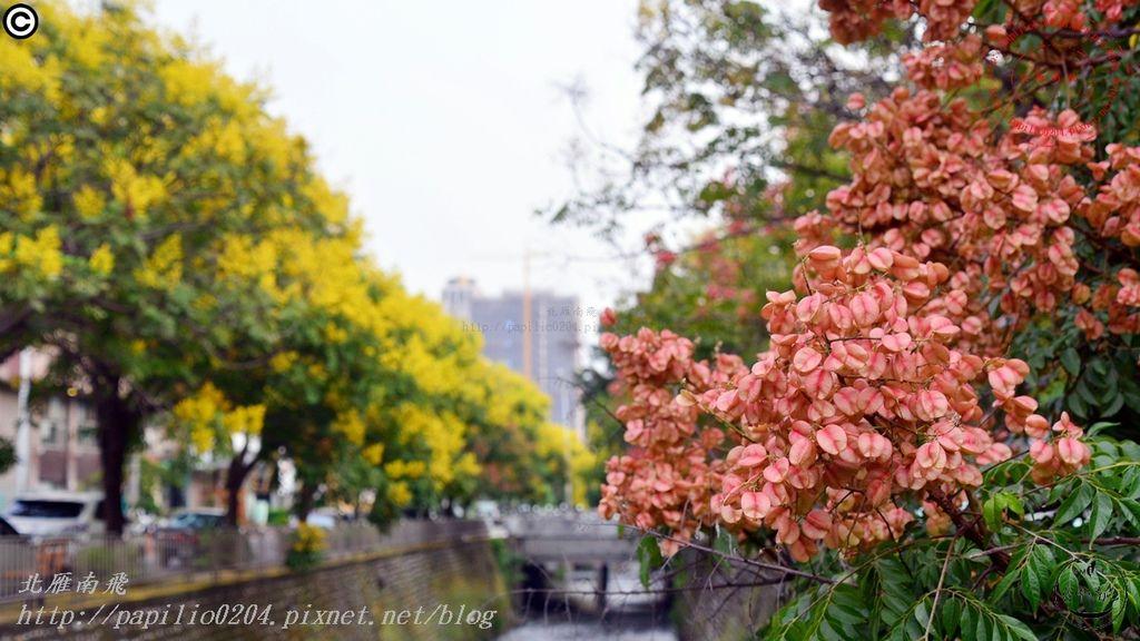 [台中‧南屯] 南屯溪大川街段台灣欒樹 2015.09.21