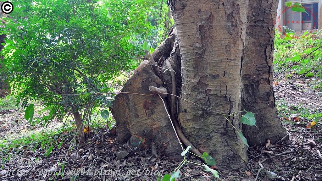 金門林務所百年菩提樹