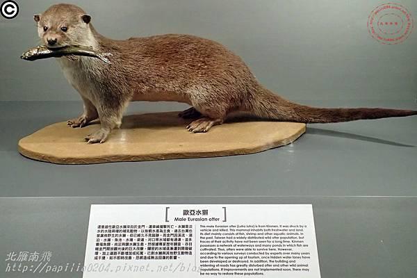 國立自然科學博物館典藏的水獺標本