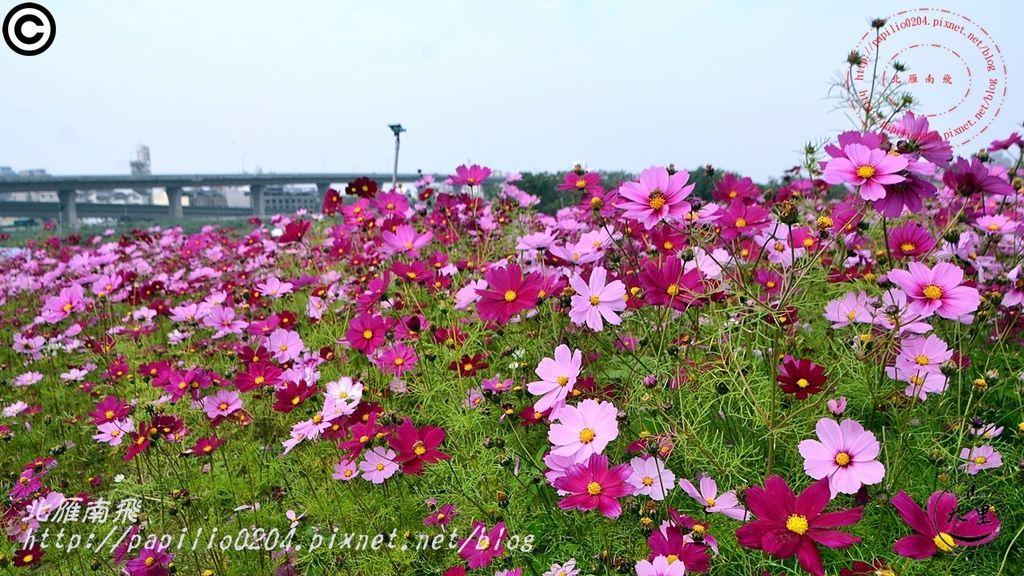 [台中‧大里] 大里溪沿岸花海