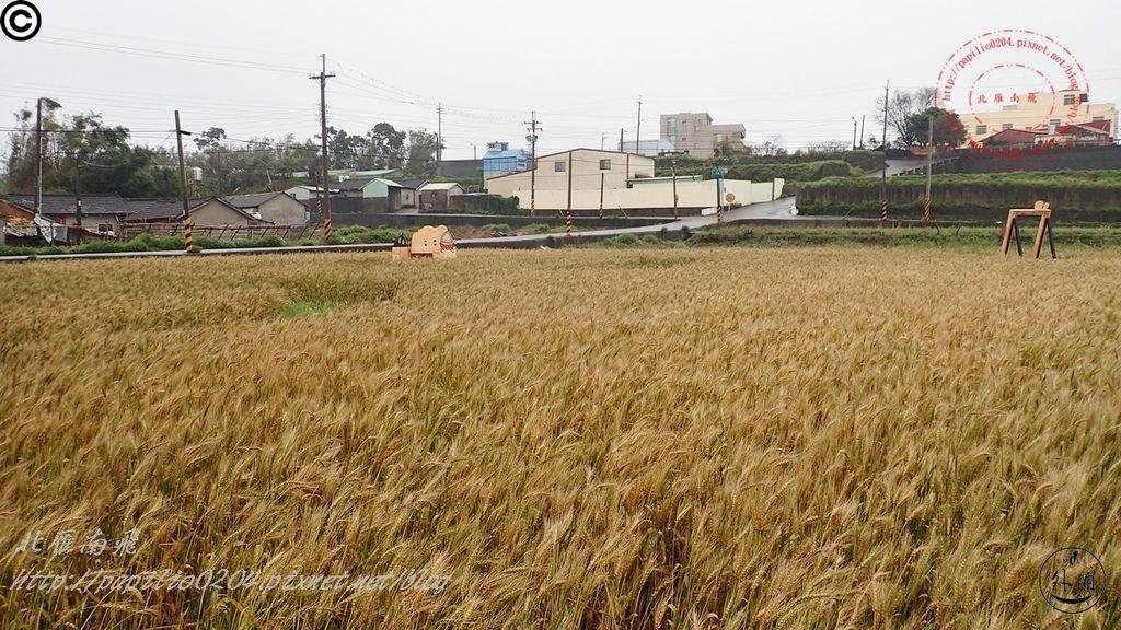 252016幽浮麥樂文化季外埔區三崁里小麥田.JPG