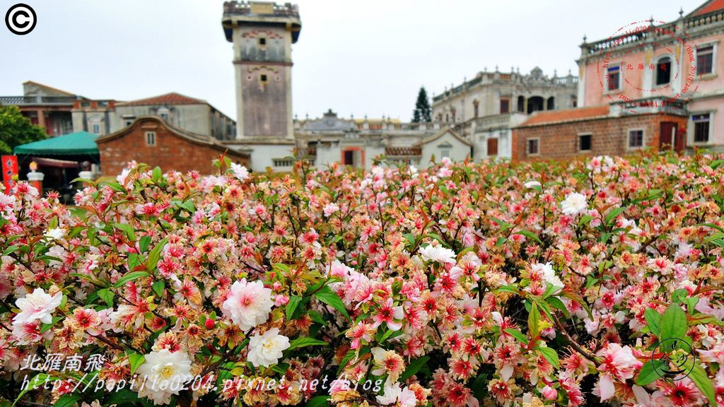 金門水頭得月樓前重瓣郁李(Prunus japonica 'Sinensis')1253