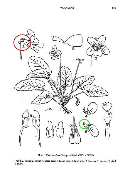 Flora_2_III-0817短毛菫菜