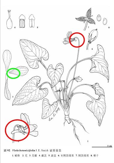金門植物誌箭葉菫菜