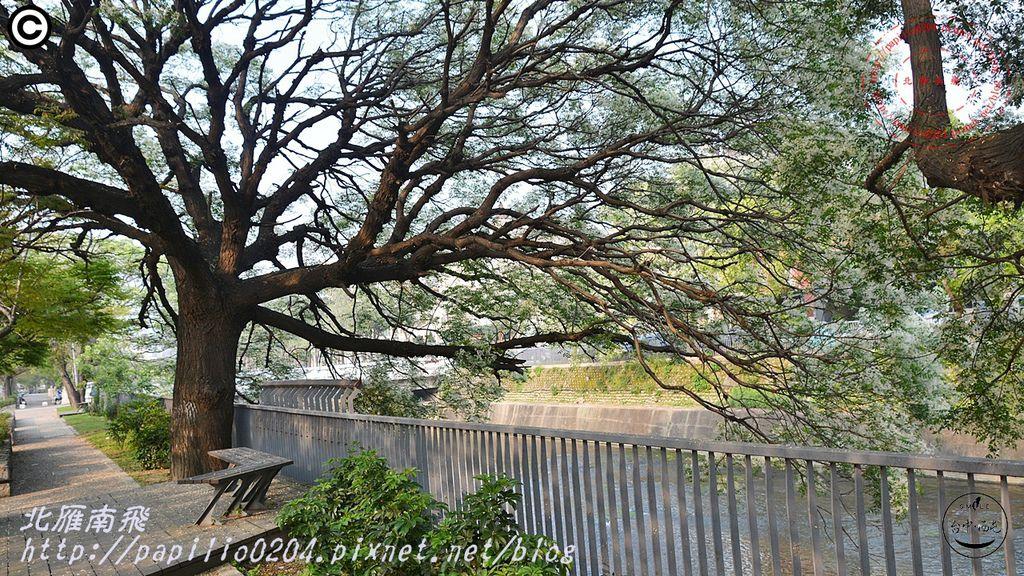 [台中‧西屯] 潮洋溪畔龍洋橋頭白花楝樹